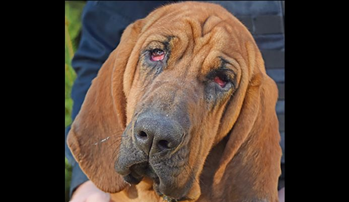 Face of Ellie the police bloodhound